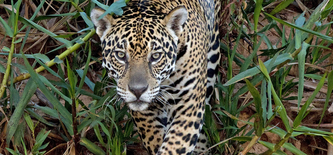 Reise in Brasilien, Jaguar im Pantanal, Brasilien